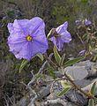 Solanum hindsianum-- Hind's Nightshade (27681104201).jpg