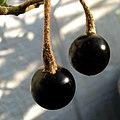 Solanum nelsonii (5187953239).jpg