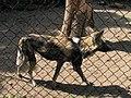 Some manner of wild dog (540083002).jpg