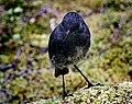 South Island Bush Robin.NZ (16716814923).jpg
