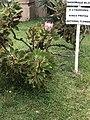 South african National flower.jpg