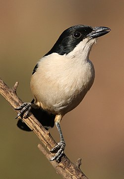 Southern Boubou, Laniarius ferrugineus, at Walter Sisulu National Botanical Garden, Gauteng, South Africa (28892795923).jpg