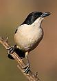 Southern Boubou, Laniarius ferrugineus, at Walter Sisulu National Botanical Garden, Gauteng, South Africa (28892795923).jpg