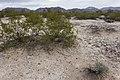 Southwest of the Harcuvar Mountains - Flickr - aspidoscelis.jpg