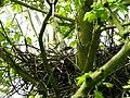 Sparrowhawk Nest 12-05-12 (7181665216).jpg
