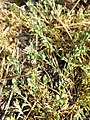 Spergularia rubra sl33.jpg