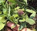 Sphaeranthus indicus 13.JPG