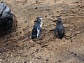 Spheniscus mendiculus -Galapagos -walking-8 (6).jpg