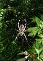 Spider in the bush (5323053944).jpg