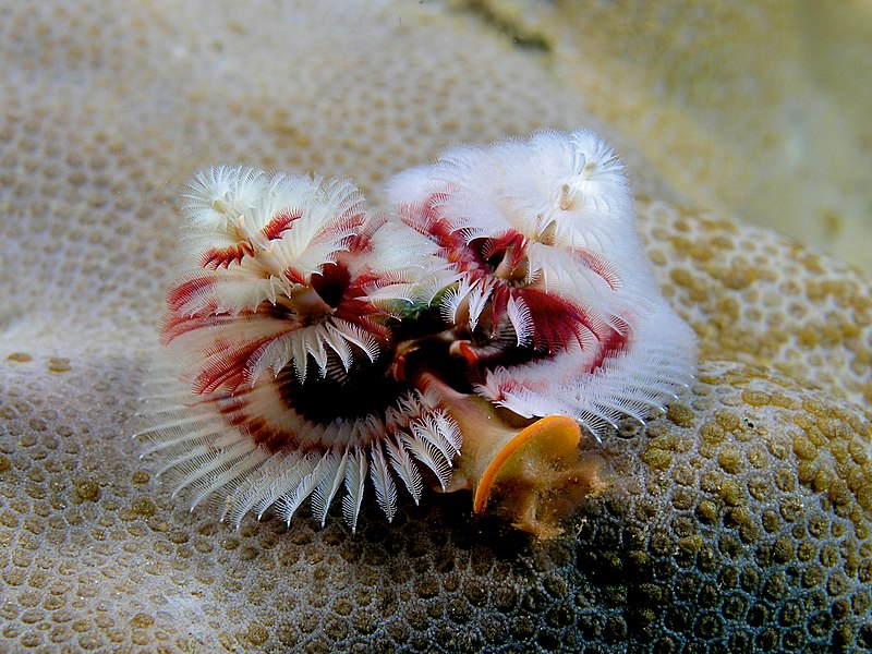 File:Spirobranchus giganteus (Red and white christmas tree worm).jpg