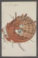 Spondylus americanus - - Print - Iconographia Zoologica - Special Collections University of Amsterdam - UBAINV0274 074 10 0010.tif