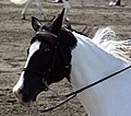 Spotted Saddle Horse4.jpg