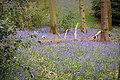 Springtime in Chaddesley Corbett woods (42154474930).jpg
