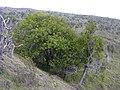Starr-031111-0107-Schinus terebinthifolius-habit-Auwahi-Maui (24048700093).jpg