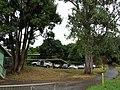 Starr-041106-0558-Cinnamomum camphora-habit-Ulupalakua-Maui (24351834239).jpg