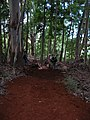 Starr-041214-1522-Eucalyptus sp-trail building-Makawao Forest Reserve-Maui (24695081546).jpg