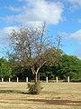 Starr-050517-1422-Cordia subcordata-defoliated by kou leafworm-One Alii beach park-Molokai (24134724304).jpg