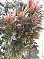 Starr-060922-9141-Cordyline fruticosa-habit-Kahului Airport-Maui (24498121689).jpg