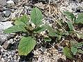 Starr-080531-4829-Amaranthus viridis-habit-Bravo barracks Sand Island-Midway Atoll (24283941923).jpg