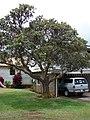 Starr-090417-6130-Banksia integrifolia-habit-Haliimaile-Maui (24858856701).jpg
