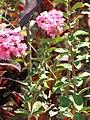 Starr-090720-3049-Lagerstroemia indica-flowers and leaves-Waiehu-Maui (24876829161).jpg