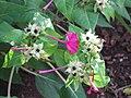 Starr-090730-3409-Mirabilis jalapa-flowers and leaves-Honolulu Airport-Oahu (24970708375).jpg