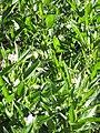 Starr-091023-8527-Solanum muricatum-flowers fruit and leaves-Kula Experiment Station-Maui (24960494046).jpg