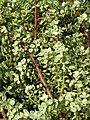 Starr-110215-1046-Portulacaria afra-habit-KiHana Nursery Kihei-Maui (24957131092).jpg
