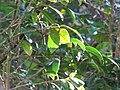 Starr-110331-4421-Camellia japonica-leaves-Shibuya Farm Kula-Maui (24451027204).jpg