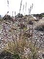 Starr-110515-6585-Festuca rubra-seeding habit-Science City-Maui (25068950936).jpg