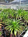 Starr-110524-5828-Argyroxiphium grayanum-in greenhouse-Haleakala National Park-Maui (25002740021).jpg