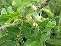 Starr-110629-6467-Senna gaudichaudii-leaves and flower-Ulupalakua-Maui (24466953554).jpg
