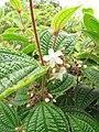 Starr-110722-7302-Clidemia hirta-leaves and flowers-Waihee Ridge Trail-Maui (24470155394).jpg