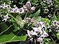 Starr-120513-5863-Calotropis gigantea-flowers-Waihee Coastal Preserve-Maui (25116348966).jpg