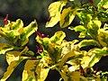 Starr-120522-5950-Graptophyllum pictum-variegated leaves-Iao Tropical Gardens of Maui-Maui (25142938915).jpg