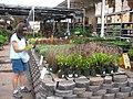 Starr-120613-9608-Carex buchananii-potted plants with Kim-Home Depot Nursery Kahului-Maui (24514788624).jpg