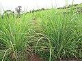 Starr-120620-7453-Cenchrus purpureus-green bana grass biofuel trials-Kula Agriculture Station-Maui (24515039224).jpg