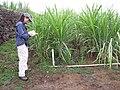 Starr-120620-7459-Cenchrus purpureus-green bana grass habit with Kim-Kula Agriculture Station-Maui (25145732555).jpg