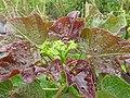 Starr-120620-7545-Jatropha curcas-flowers and leaves-Kula Agriculture Park-Maui (24778175039).jpg