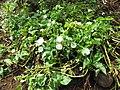 Starr-121108-0678-Ipomoea aquatica-flowering habit-Pali o Waipio-Maui (25102574621).jpg