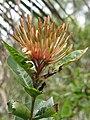 Starr-130312-2308-Ixora sp-flowers-Pali o Waipio Huelo-Maui (25088846102).jpg