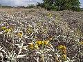 Starr-130422-4271-Encelia farinosa-flowering habit filling area-Kahului-Maui (24914818540).jpg