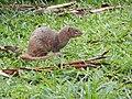 Starr-140222-0352-Paspalum conjugatum-habitat with panhandling mongoose-Puaa Kaa Hana Hwy-Maui (24872887869).jpg