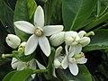 Starr-150217-0329-Citrus sinensis-Washington Navel flowers-Hawea Pl Olinda-Maui (25264804575).jpg