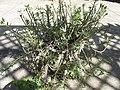 Starr-170208-6794-Portulaca villosa-flowering habit in pot-Maui Nui Botanical Garden Kahului-Maui (33252914711).jpg