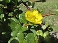 Starr-170208-6805-Portulaca lutea-flowers leaves-Maui Nui Botanical Garden Kahului-Maui (32537890164).jpg