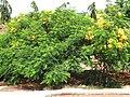 Starr-170913-0122-Delonix regia-yellow flower form-CTAHR Urban Garden Center Pearl City-Oahu - Flickr - Starr Environmental.jpg