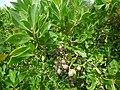 Starr-180421-0218-Conocarpus erectus-fruit-Honolua Lipoa Point-Maui (43410577572).jpg