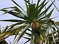 Starr 010209-0264 Pandanus tectorius.jpg