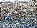 Starr 010714-0022 Erythrina sandwicensis.jpg